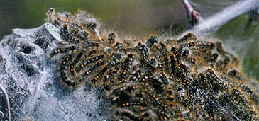 Bastaardsatijnvlinder