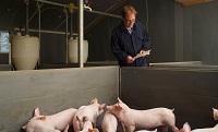 Varkens en dierenarts